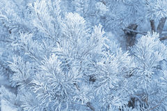 Frosted branches of pine Stock Photo