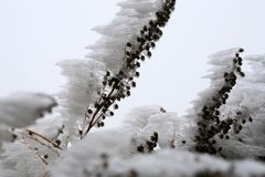 Frosted branches of tarragon. royalty free stock photos