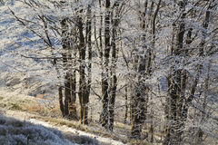 Frosted branches of trees in the  winter forest. Frosted branches of trees in the beautiful winter forest Stock Photos