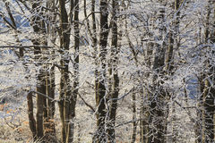 Frosted branches of trees in the  winter forest Stock Photos