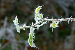 Frosted briar branch. Royalty Free Stock Photo