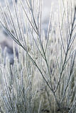 Frosted Broom in the Scottish Highlands. Royalty Free Stock Image