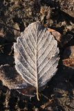Frosty daed leaf. Frosted brown autumn  leaf on cold ground Stock Photo