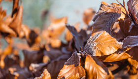 Frosted brown beech leaves in early morning sunlight Royalty Free Stock Photography
