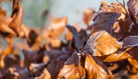 Frosted brown buków liście w wczesnego poranku świetle słonecznym Fotografia Royalty Free