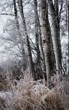 Frosted brzoz trawy i drzewa obraz royalty free