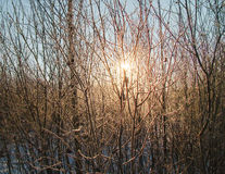 Frosted bushes. The sun shining through the frosted bushes Stock Photography
