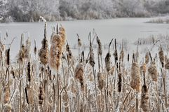Frosted Cattail Going To Seed in winter time Royalty Free Stock Image