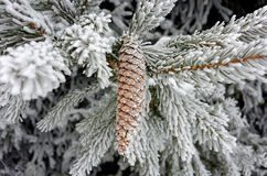 Frosted cone and branches of Norway spruce tree. Detail of German nature in winter. Frosted cone and branches of a Norway spruce tree Stock Photos