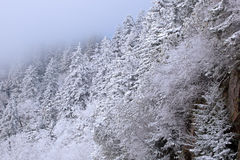 Frosted Conifers Stock Photos