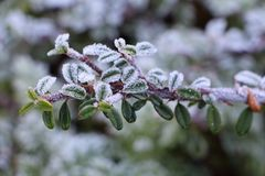 Frosted cotoneaster branch in a garden. During winter Royalty Free Stock Photos