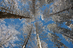 Frosted crown of trees with clear blue sky Royalty Free Stock Photography