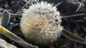 Frosted dandelion. On the ground Stock Photo