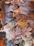 Frosted dry autumn leaves. Winter seasonal background. Dried autumn leaves, covered with hoarfrost lie on ground. Winter season background stock photo