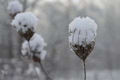 Frosted dry yarrow under the snow. Macro. Snow on dry branches. Beautiful winter. Blurred winter background. Beautiful winter. Blurred winter background. Frosted Royalty Free Stock Photo