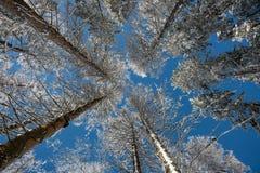 Frosted drzewa koronują znowu jasnego niebieskiego nieba tło Zdjęcia Royalty Free