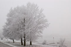 Frosted drzewa na mglistym dniu Zdjęcia Royalty Free