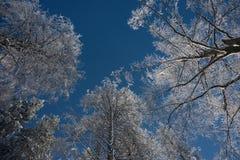 Frosted drzewa przeciw niebieskiego nieba bakground Obraz Royalty Free