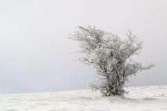Frosted drzewo kształtujący wiatrem Fotografia Royalty Free