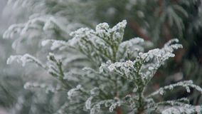 Frosted evergreen tree in winter day in park, close-up view stock video footage