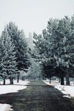 Frosted evergreen trees Royalty Free Stock Image