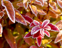Frosted fall leaves Royalty Free Stock Photo