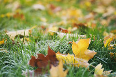 Frosted fall leaves on the grass in the morning Royalty Free Stock Photo