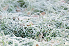 Frosted fall leaves on the grass in the morning Royalty Free Stock Photography
