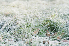 Frosted fall leaves on the grass in the morning Royalty Free Stock Photos