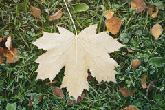 Frosted fall leaves on the grass in the morning Royalty Free Stock Images