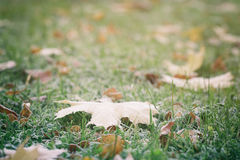 Frosted fall leaves on the grass in the morning Stock Photography