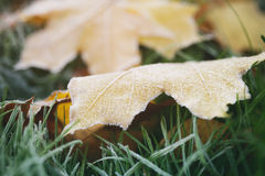 Frosted fall leaves on the grass in the morning Stock Image