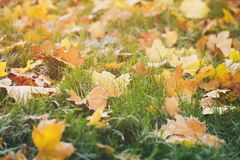 Frosted fall leaves on the grass in the morning Stock Photo