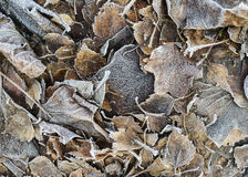 Frosted fallen leaves Stock Photography