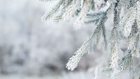 Frosted fir branches on winter day, pan stock video