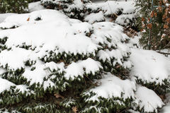 Frosted fir tree. Snow covered little fri tree. Close up Royalty Free Stock Image