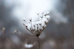Frosted flower. With snow Stock Photos