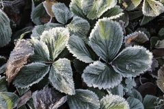 Free Frosted Foliage, Strawberry Plant, Cold Winter Stock Image - 164533581