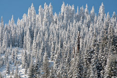 Frosted forest. Frosted pine trees in mountains Stock Photography