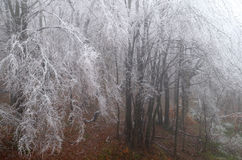 Frosted forest. Cold and fog. Branches of trees icing Stock Images