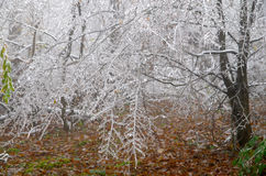 Frosted forest. Cold and fog. Branches of trees icing Royalty Free Stock Image