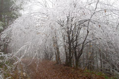 Frosted forest. Cold and fog. Branches of trees icing Stock Photography