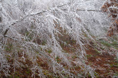 Frosted forest Stock Photography