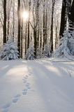 Frosted forest Royalty Free Stock Photography