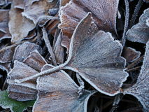 Frosted Ginkgo Biloba Leaf. Close-up of frosted ginkgo biloba leaf on the ground Royalty Free Stock Image