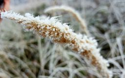 Frosted grain Royalty Free Stock Image