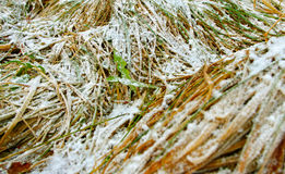 Frosted grass. Stock Photography