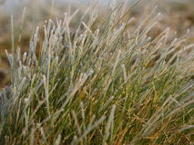 Frosted grass. Frost covered grass in winter and autumn stock photo
