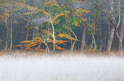 Frosted grass and autumn forest. With orange leaves Stock Photography