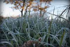 Frosted grass. Autumn, frosty morning stock photo
